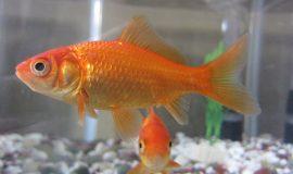 Cá phong thủy: cá chép vàng