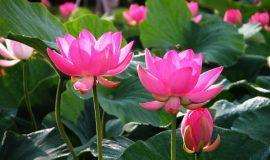 Giải mã giấc mơ thấy hoa sen có ý nghĩa gì?