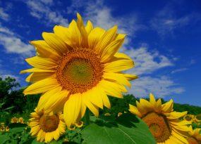 Mơ thấy hoa hướng dương điềm báo gì?